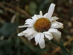fiore-appassito