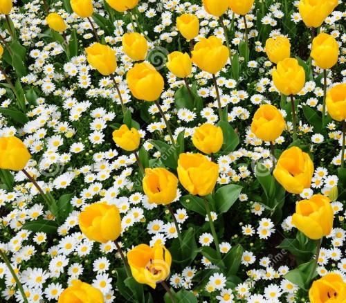 tulipano-e-margherita-18882713